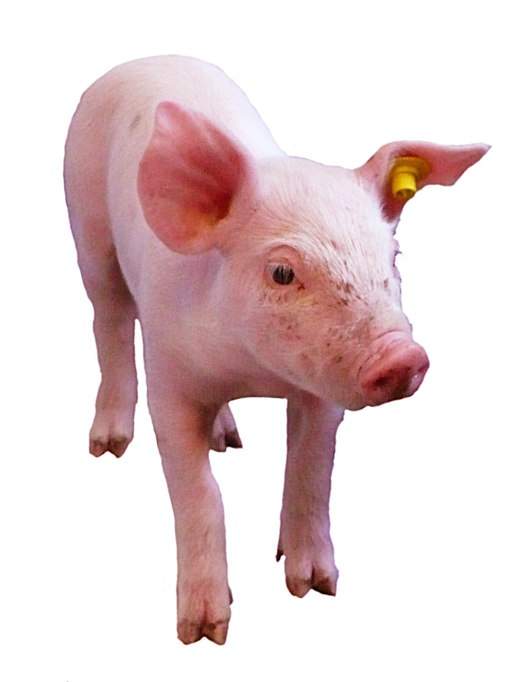 Animaux Cochons Hd Visuels L214