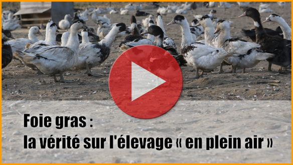 Le foie gras : la vérité sur l'élevage plein air