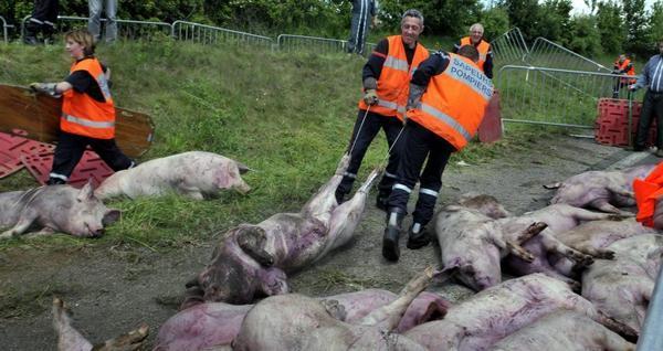photo : des pompiers dégagent des cadavres de cochons