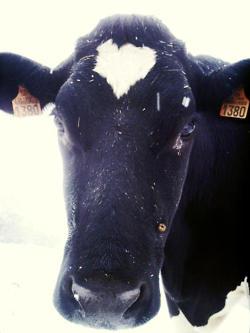 Regard d'une vache