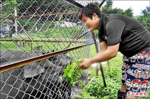 Lo Hung-Hsien et les cochons