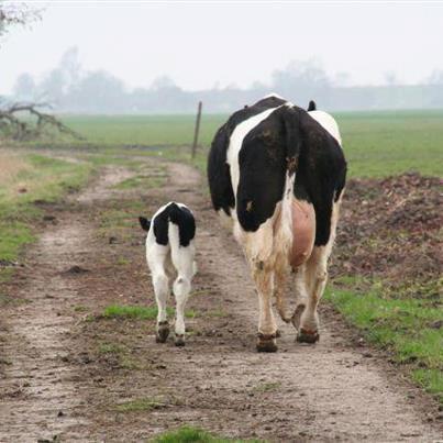 vache et veau, une famille