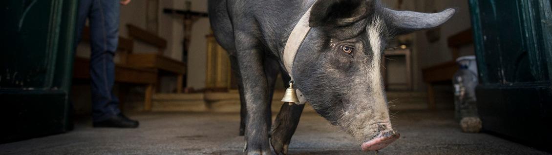 Bannière Ces villageois allaient tuer ce cochon par tradition…  la suite est belle et inattendue.