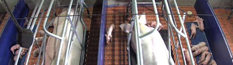 Bannière EN DIRECT / une webcam filme deux truies en cages dans un élevage