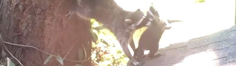 Bannière Cette maman raton laveur apprend à son petit à grimper aux arbres