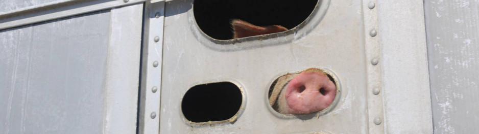 """Bannière """"Je suis jugée pour avoir donné à boire à des cochons assoiffés. Si j'avais abreuvé des chiens, je serais une héroïne """""""