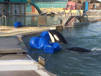 Photo des orques dans les bassins pollués de Marineland