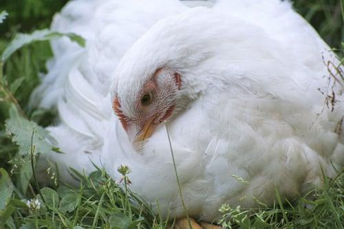 Titou, poulet rescapé de l'abattoir.