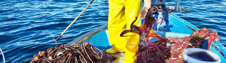 Bannière La pêche des poulpes : un océan de souffrance