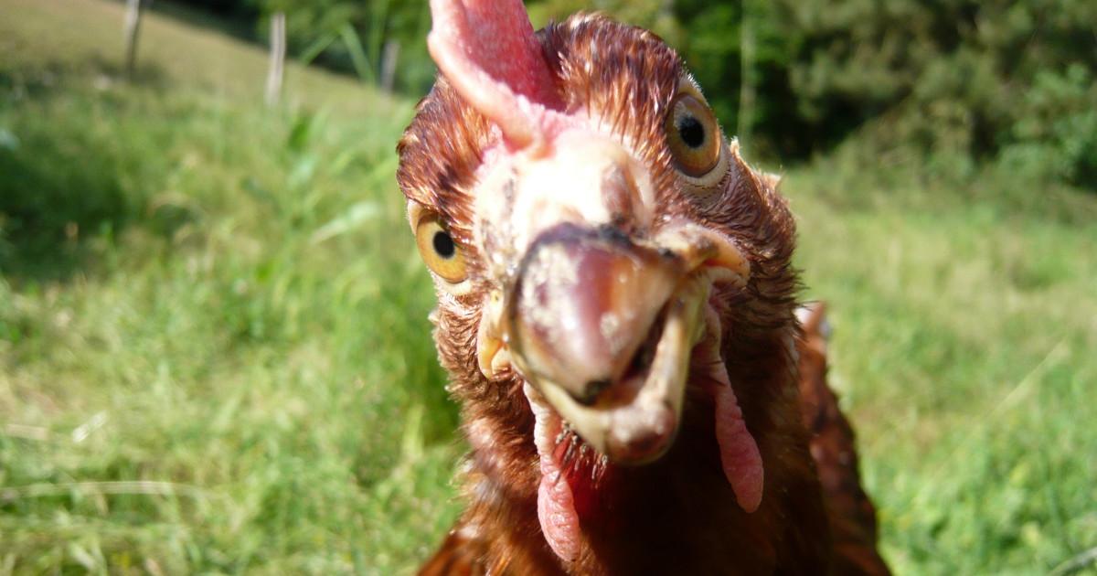 De quoi discutent vos poules peut tre bien de vous - Image de poule ...