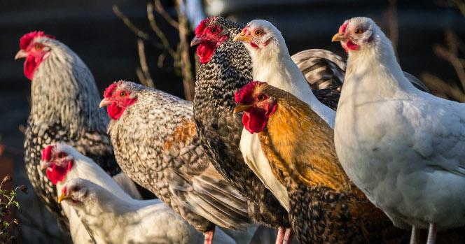 poules perchées