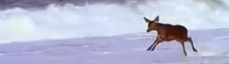 Bannière [VIDEO] Une biche joue avec les vagues... une merveille.