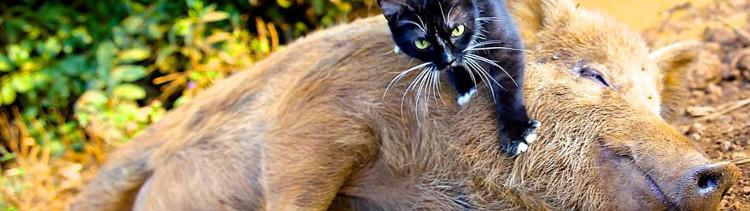 Bannière Berney, le cochon amoureux des chats