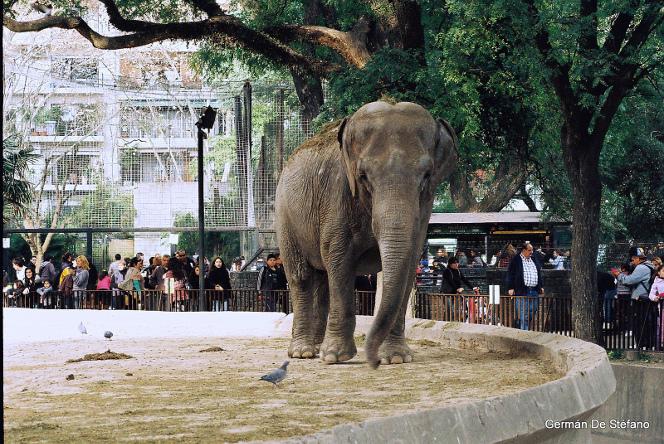 éléphant au zoo deBuenos Aires