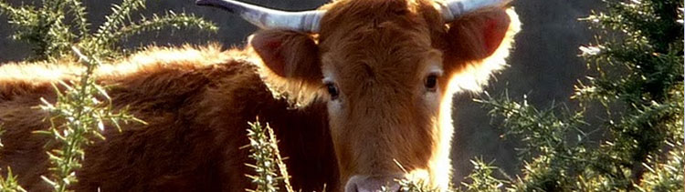 Bannière Des vaches tuées à bout portant