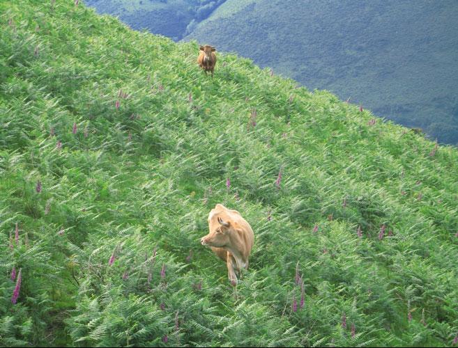 Vaches betizus dans une prairie