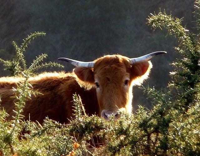 Vache betizu portrait