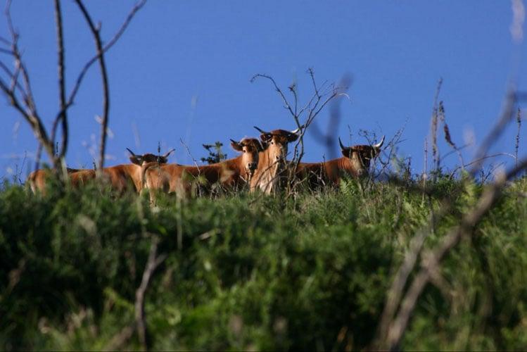Vaches betizus dans un pré
