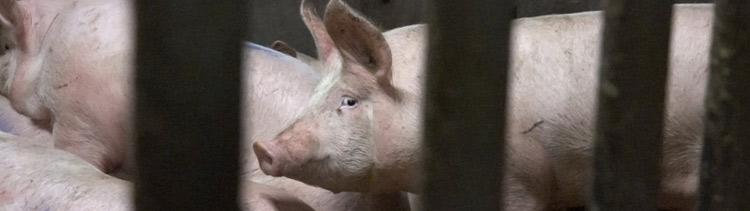 Bannière Royaume-Uni : des milliers d'infractions graves dans les abattoirs