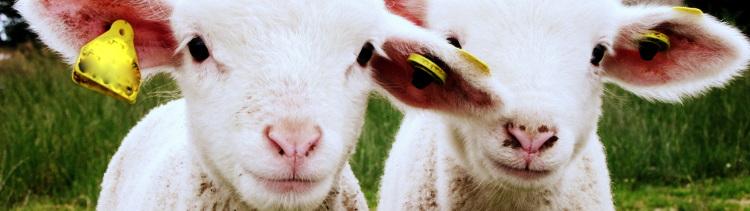 Bannière Témoignage • Cécile : épargner les agneaux de Pâques