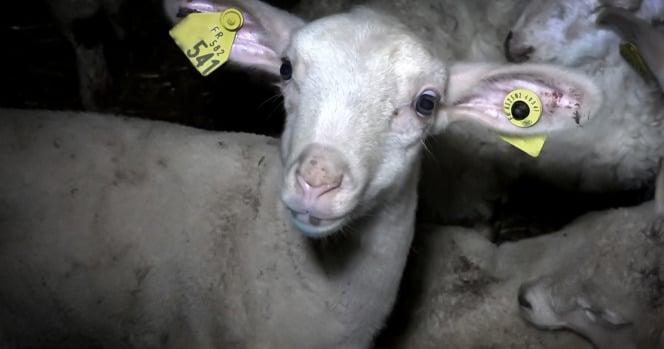 agneau abattoir Mauléon