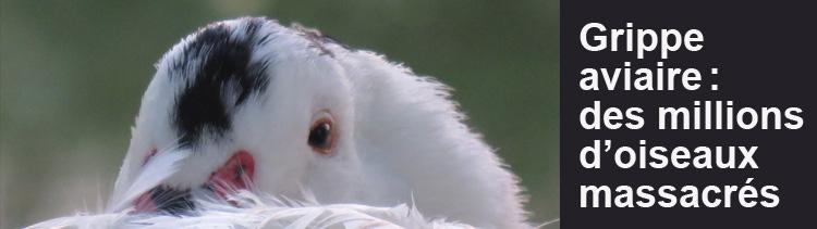 Bannière Grippe aviaire : chronique d'un massacre