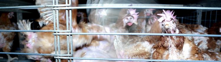 Bannière Poules malades, déplumées, infestation de poux : tout va bien selon les vétérinaires de l'État !