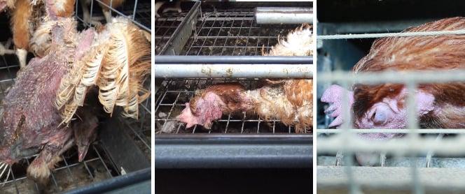 poules mortes cages oeufs Geslin Vendée