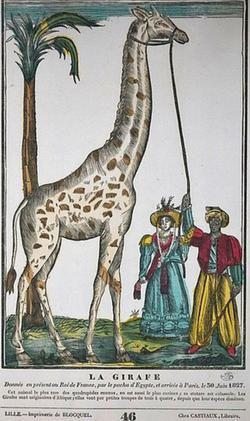 La girafe exhibée en France