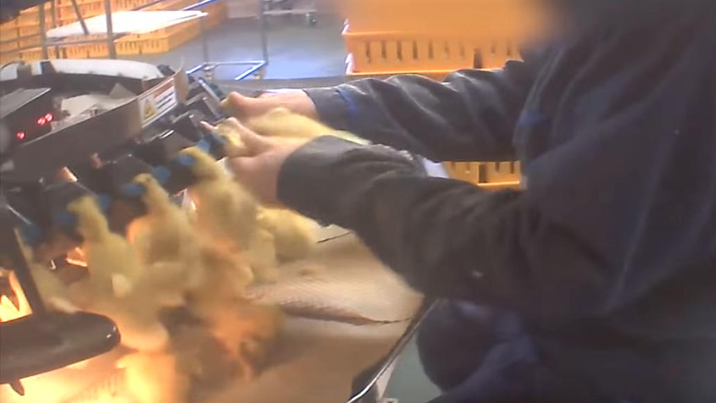 Les canetons ont le bec brûlé.