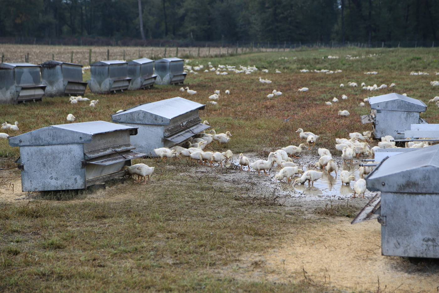 Jeunes canards en élevage, avant le gavage.
