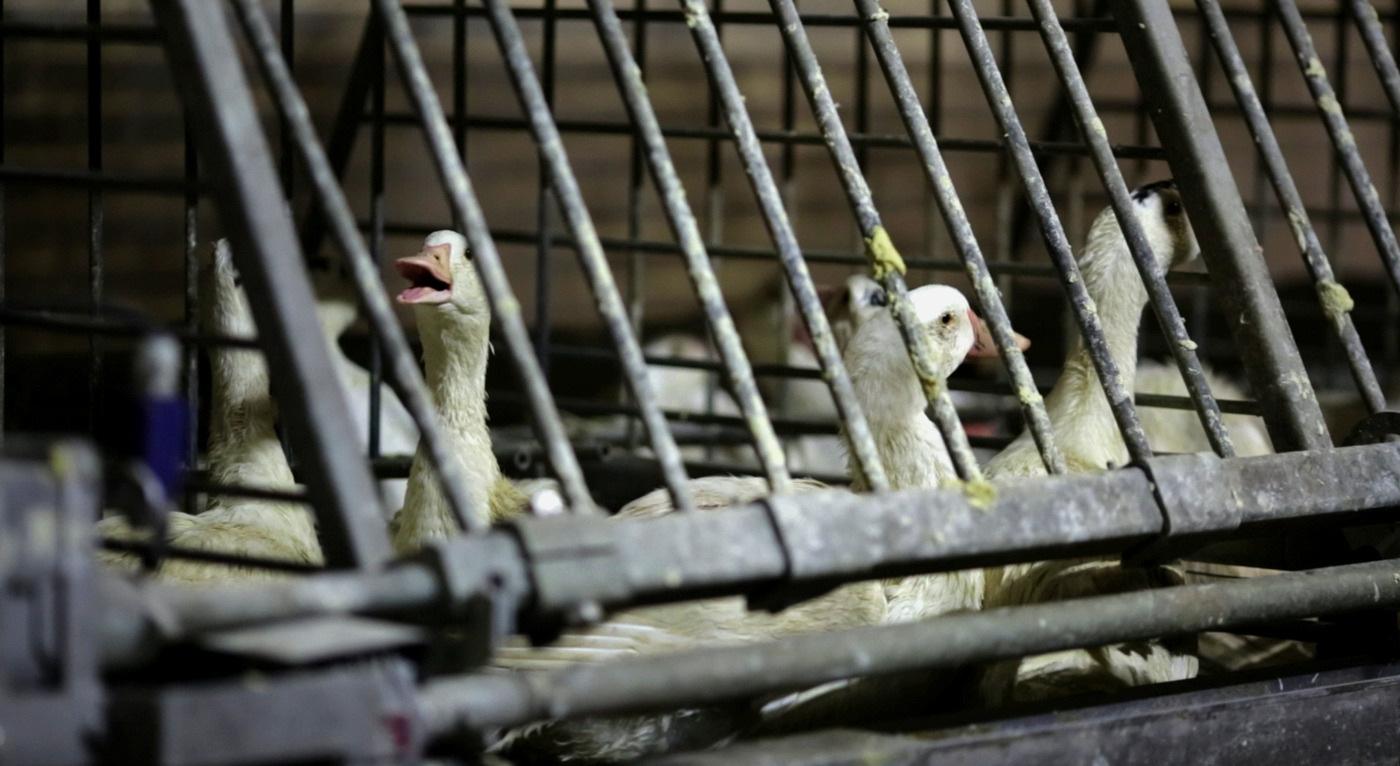Canards en cages collectives pour le foie gras