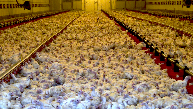 Bâtiment d'élevage intensif de poulets