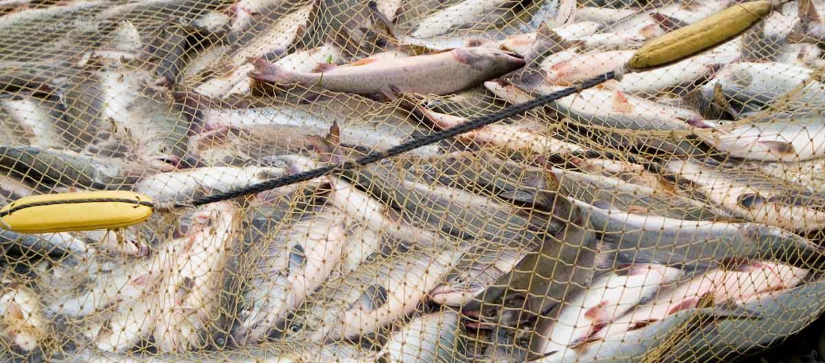 Poissons pris dans un filet de pêche.