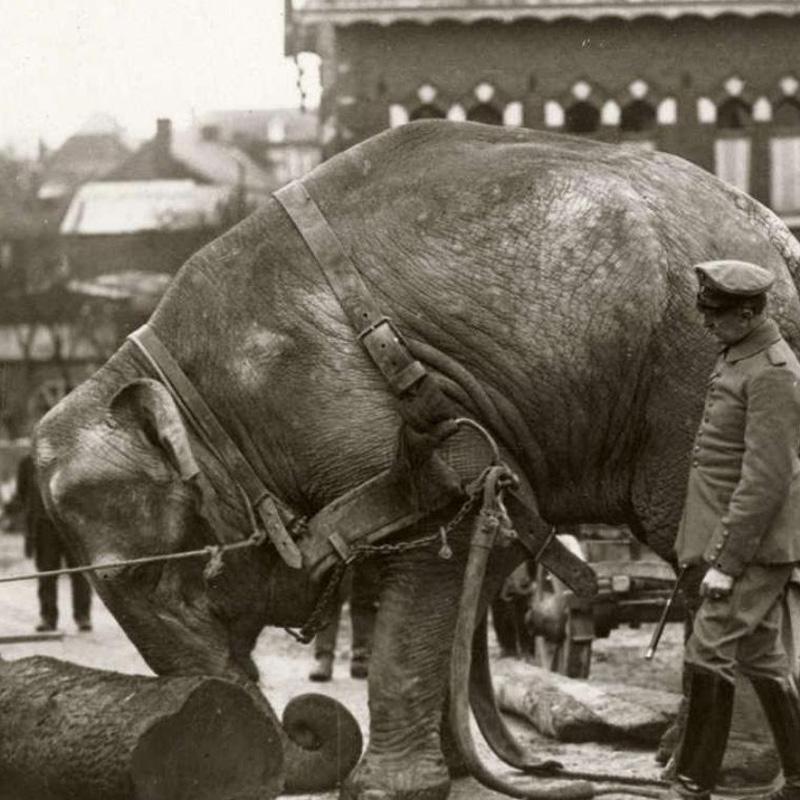 Un éléphant utilisé comme force motrice