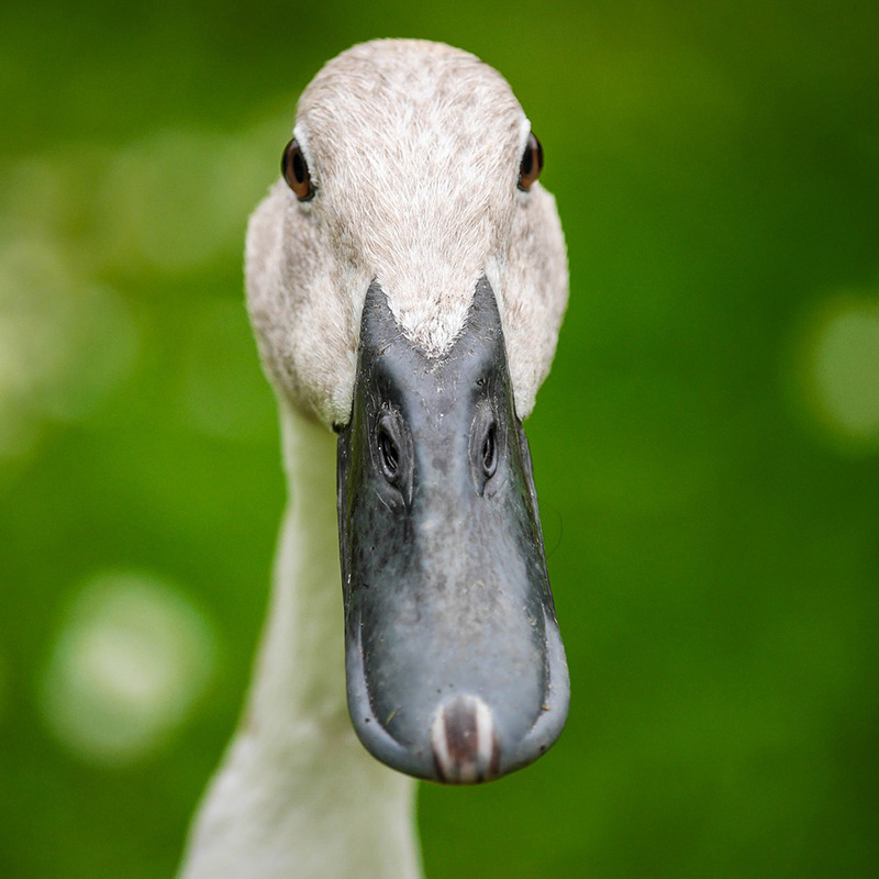 Le gavage des oies et canards est interdit en Flandre
