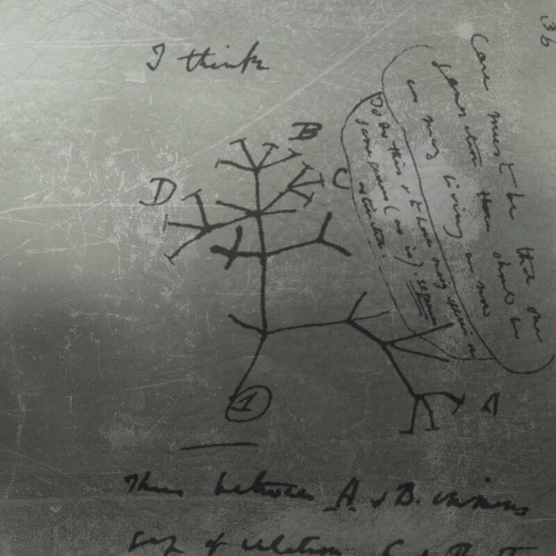Dessin de Darwin d'un arbre philogénétique