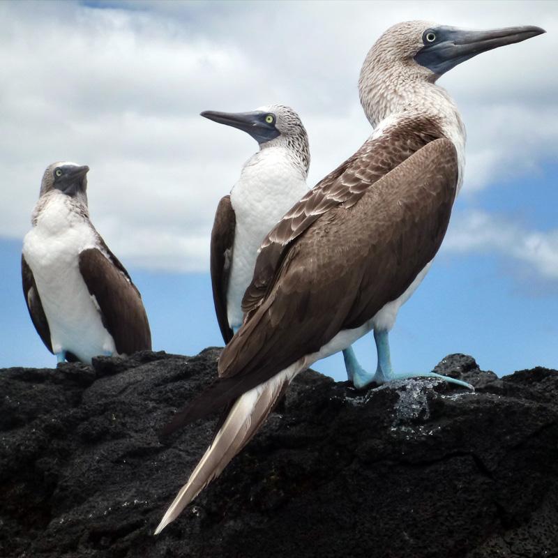 Aux Galapagos, les fous ont les pieds bleus