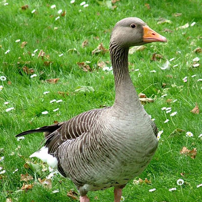 Le gavage des oies et des canards est interdit dans plusieurs pays européens.