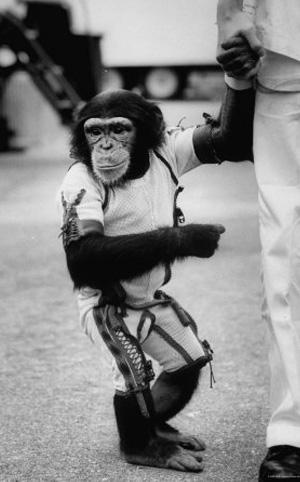 Chimpanzé Ham