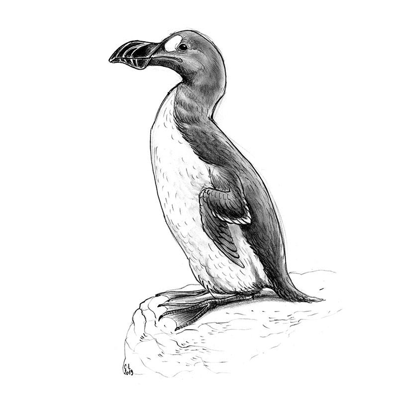 Disparus au XIXe siècle, les grands pingouins étaient des proies faciles pour les chasseurs.