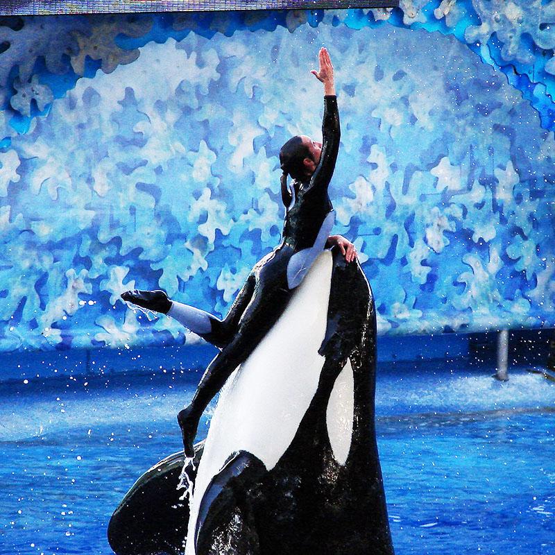 Comme Inouk, 59 orques vivent en captivité dans le monde aujourd'hui.