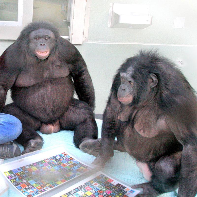 Les bonobos Kanzi et Panbanisha ont appris à communiquer avec les humains en utilisant des symboles