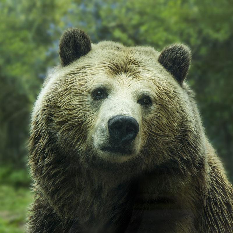 Les ours vivant dans les Pyrénées sont-ils en sécurité ?