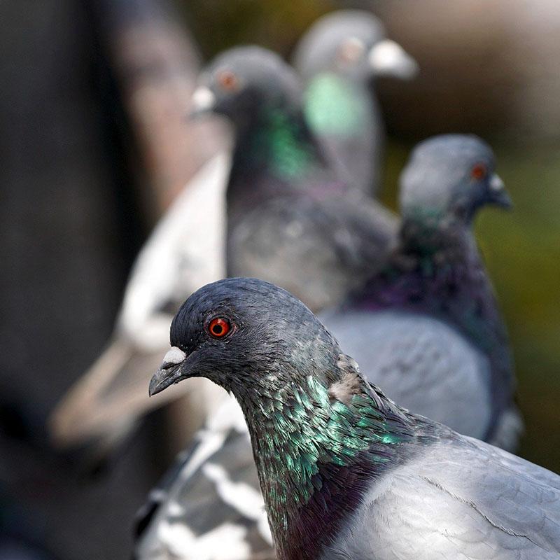 Les pigeons sont-ils trop nombreux dans les villes ?