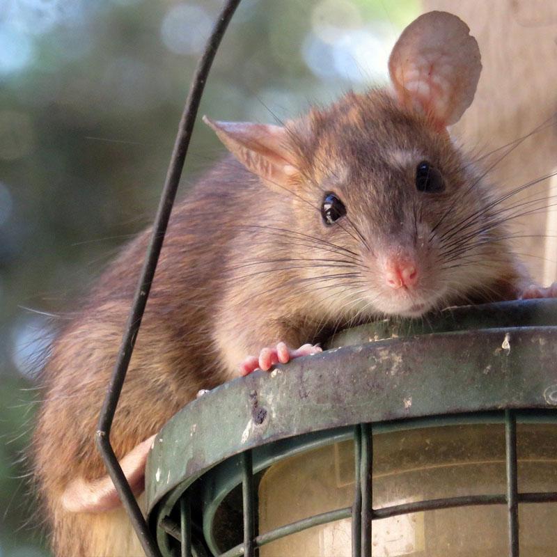 Dans les grandes villes, les rats se rendent utiles en mangeant des ordures