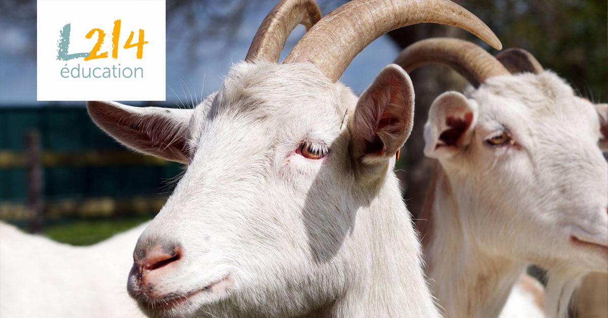 Et si les chèvres étaient capables d'entendre les émotions ?