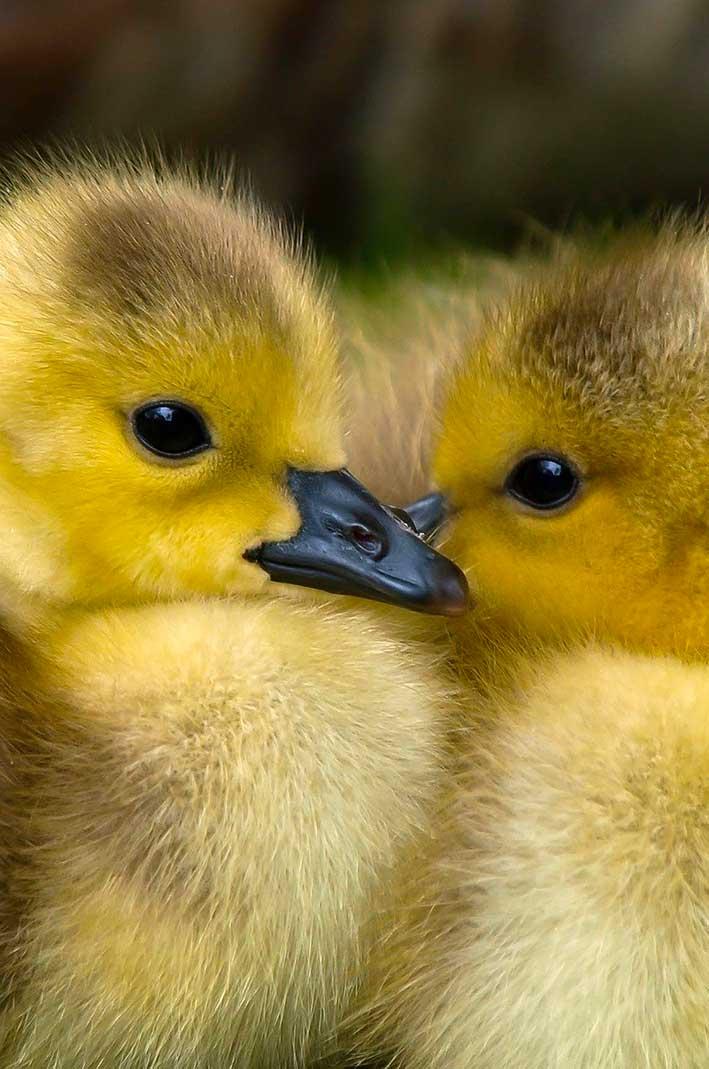 Baisse de la consommation de foie gras en France à l'approche des fêtes