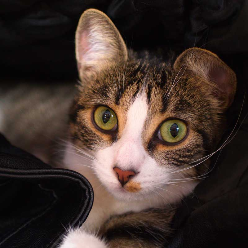 Tilda adore dormir dans les manteaux des clients !