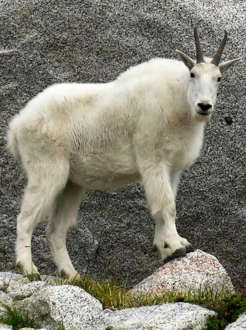 Chèvres montagnes Rocheuses